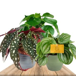 trio de plantas: peperomia watermelon, pilea peperomioides y begonia maculata