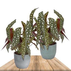 duo begonia maculata con macteros