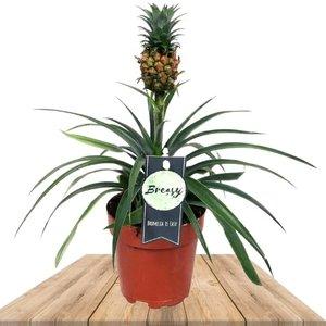 planta piña bromelia