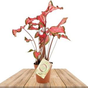 caladium pantera rosa