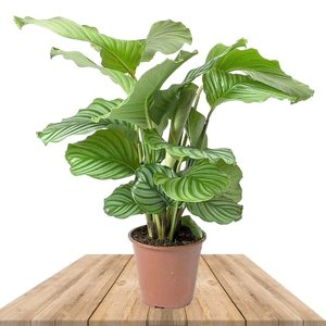 calathea orbifolia