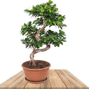 ficus ginseng bonsai espiral