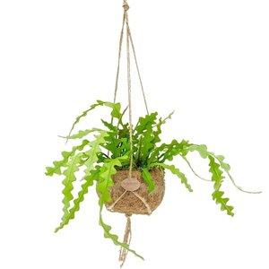 epiphyllum-angular (cactus orquídea colgante)