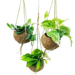 mix scindapsus y epipremnum en macetas de coco
