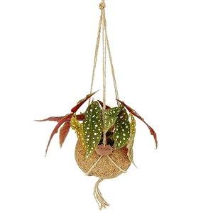 begonia maculata en maceta colgante de ecococo