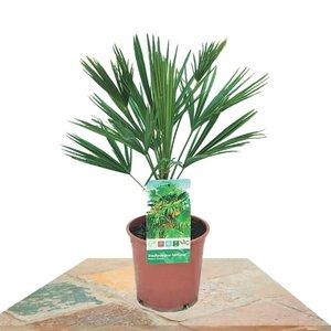 palmera trachycarpus fortuneii 50m