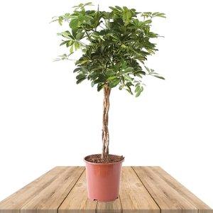 schefflera arboricola goldcapella 100cm