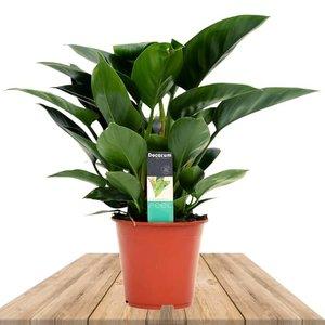 filodendro congo verde