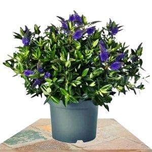 verónica azul