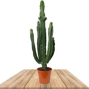 cactus euphorbia eritrea 110cm