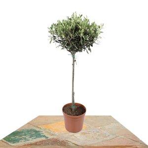 árbol olivo 80cm