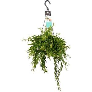esquenanto planta colgante