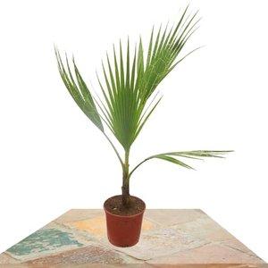 washingtonia robusta 40cm