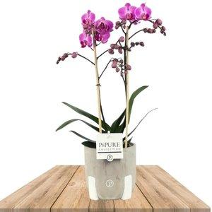 orquidea lila 2 ramas