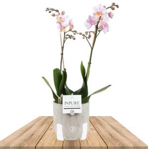 orquidea rosa 2 ramas