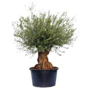 olivo bonsai grande