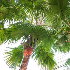 palmera livistona decipiens grande
